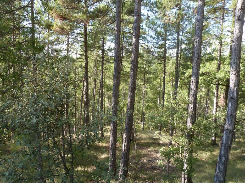 bosc pinassa
